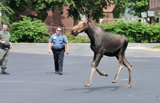 Moose Tranquilized and Moved from Easthampton to Huntington