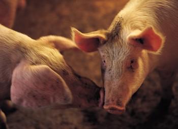 Deerfield Cracks Down On Pig Farmers
