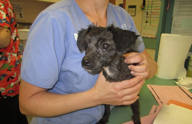 Dakin: Abused Poodle Improving