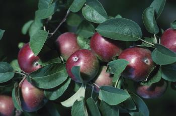 Ashfield Apple Farmer Badly Hurt